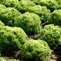 Jetzt frische Blattsalate aus dem Freilandanbau genießen